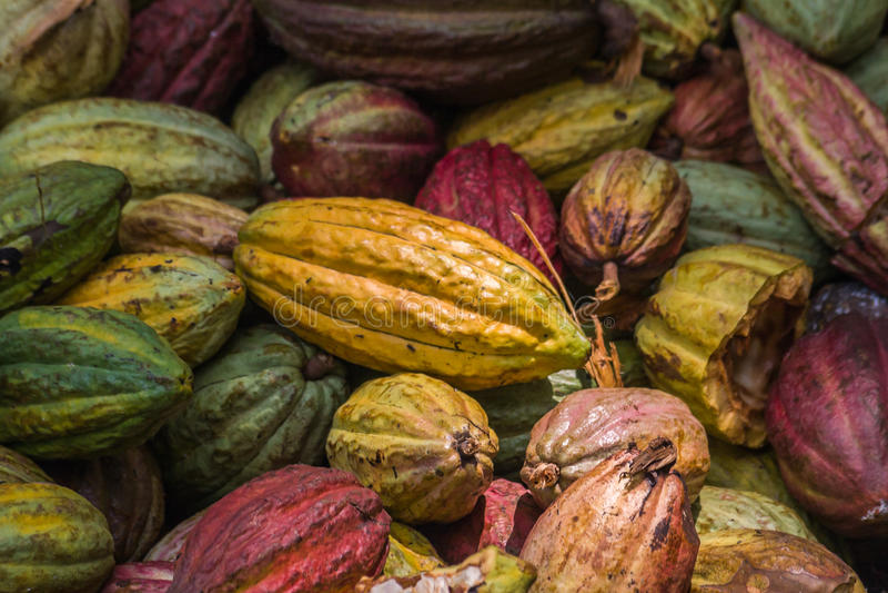 Muchas vainas del cacao fotos de archivo