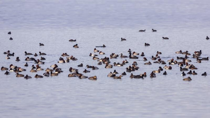 Muchedumbre de aves acuáticas