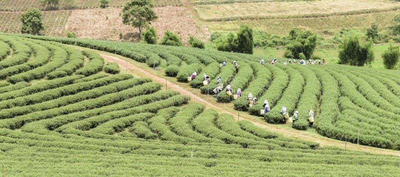 Muchedumbre de hoja de té de la cosecha del recogedor del té en la plantación imágenes de archivo libres de regalías