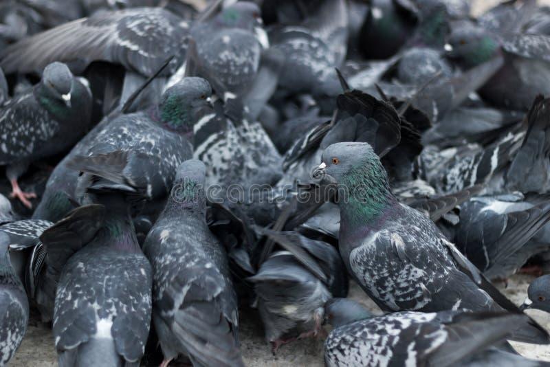 Muchedumbre de palomas fotografía de archivo