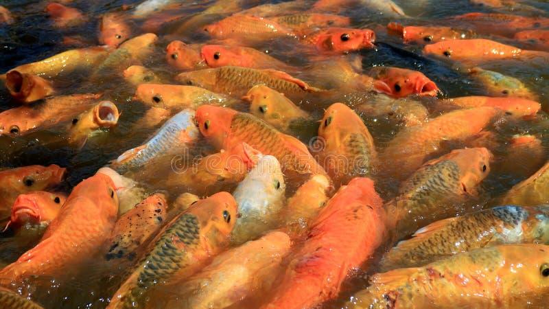 Muchedumbre de pescados de oro fotografía de archivo