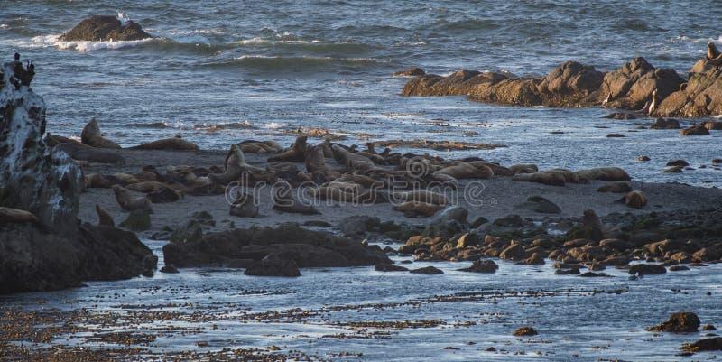 Muchedumbre Rocky Beach de los leones marinos foto de archivo