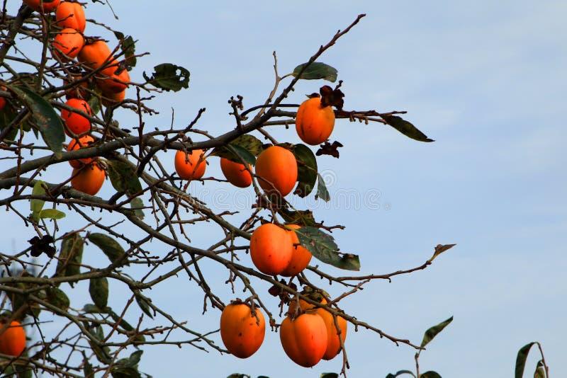 Mucho árbol de caqui maduro de la fruta fotos de archivo