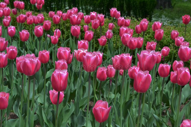 Mucho brillante de tulipanes rosados en jardín en día soleado de la primavera imagenes de archivo