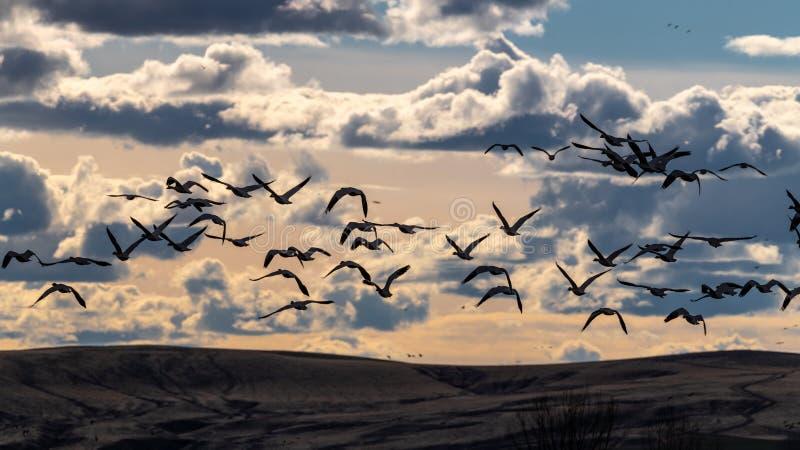 Mucho mosca de Gees de la nieve de la migración apagado en la puesta del sol sobre tierra con las nubes foto de archivo