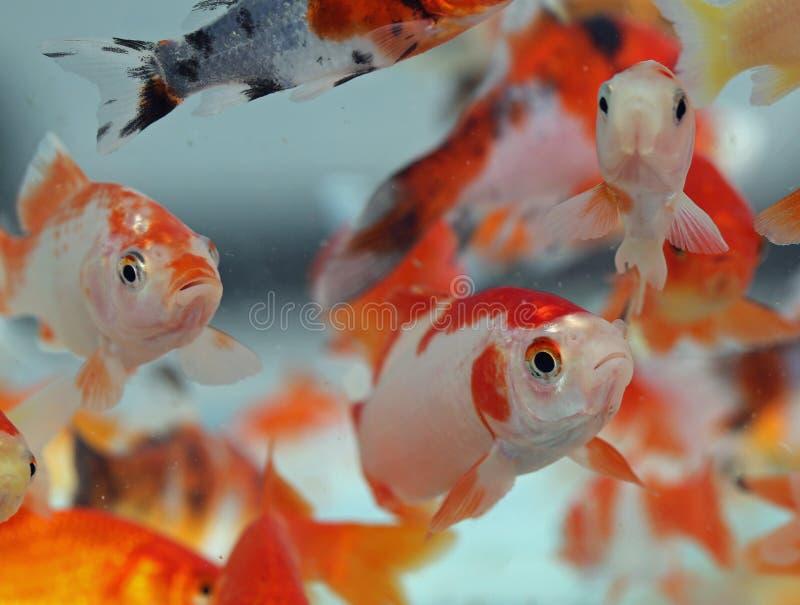 Mucho pez de colores grande en la tienda de animales del acuario foto de archivo