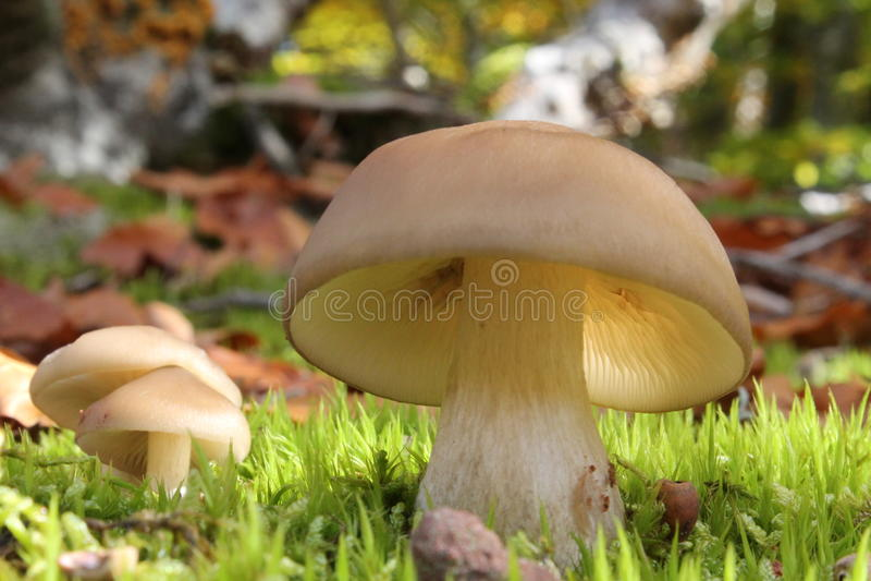Muchomor w lesie zdjęcie stock