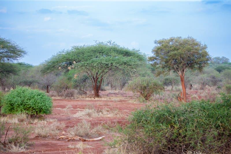 Muchos árboles en Kenia, safari, paisaje de la sabana imágenes de archivo libres de regalías
