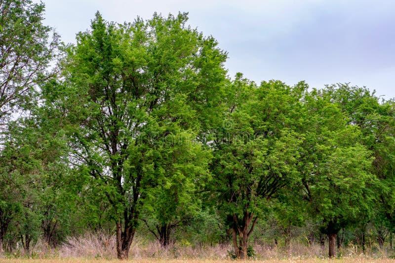 Muchos árboles grandes con las flores, hierba en el frente imagen de archivo