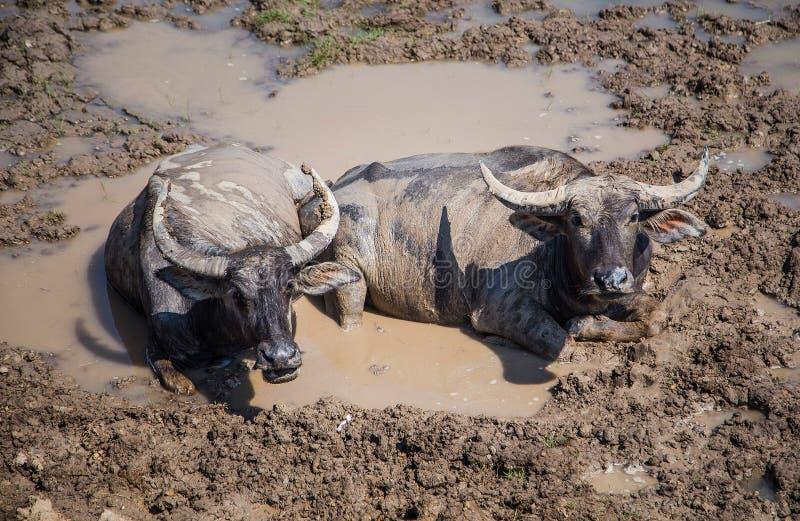 Muchos búfalos del mar que comen la hierba imagen de archivo