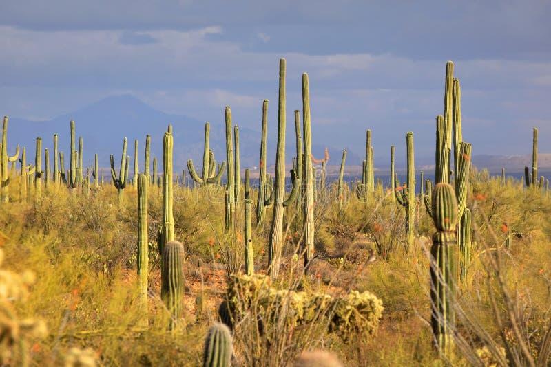 Muchos cactos del Saguaro fotografía de archivo libre de regalías