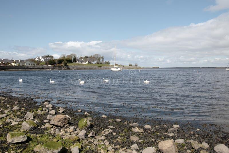 Muchos Cisnes Blancos Imagen de archivo libre de regalías