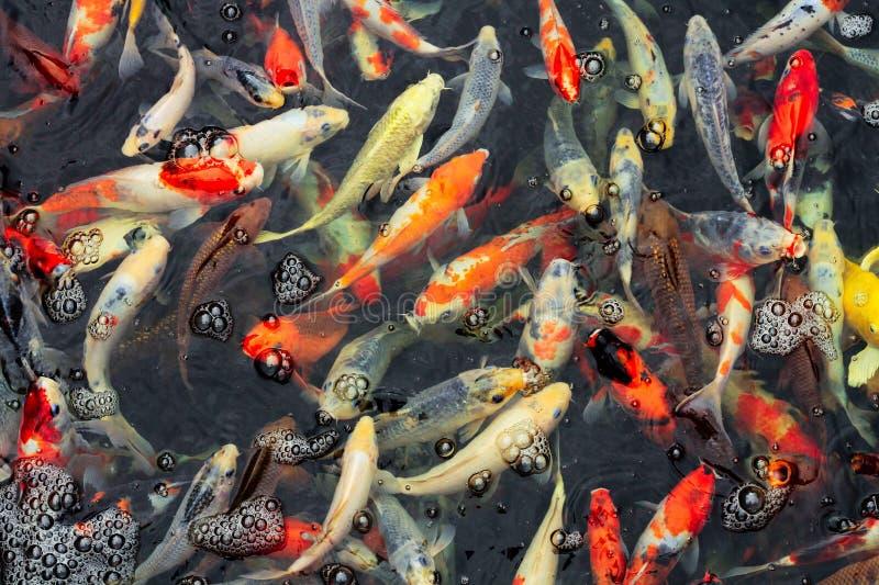 Muchos colores de la carpa están nadando en agua clara imagen de archivo
