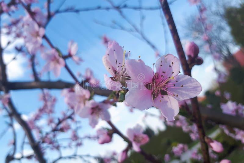 Muchos flores rosados del melocotón imagen de archivo