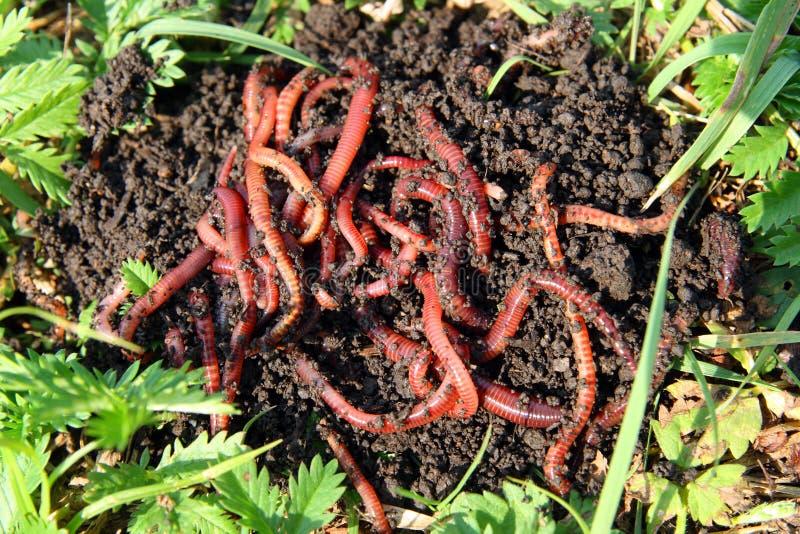Muchos gusanos rojos en suciedad imagen de archivo libre de regalías