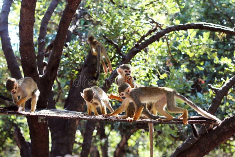 Muchos monos en el árbol imagenes de archivo