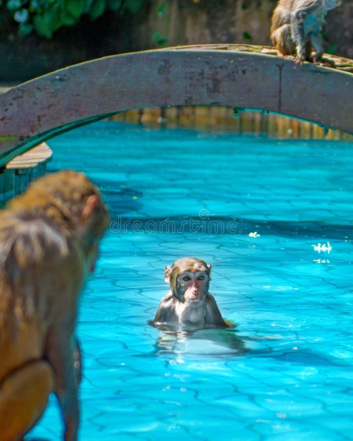 Muchos monos nadan en la piscina, comen el juego y toman el sol en el sol, las zonas tropicales imagen de archivo