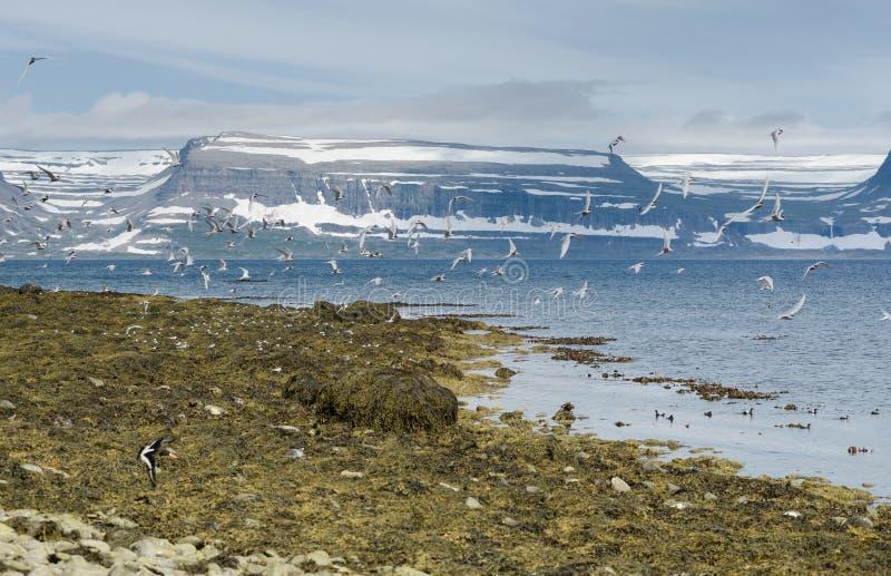 Muchos pájaros en vuelo y la península montañosa de Westfjords de Islandia del noroeste vista de la isla de Vigur, Islandia foto de archivo
