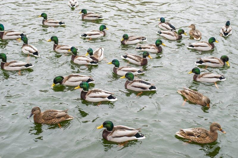 Muchos patos salvajes nadan en el lago del invierno Una multitud de patos en el agua Una muchedumbre de patos que flotan en el wa fotografía de archivo libre de regalías