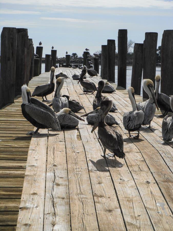 Muchos pelícanos en muelle de la pesca del lado del agua imagen de archivo