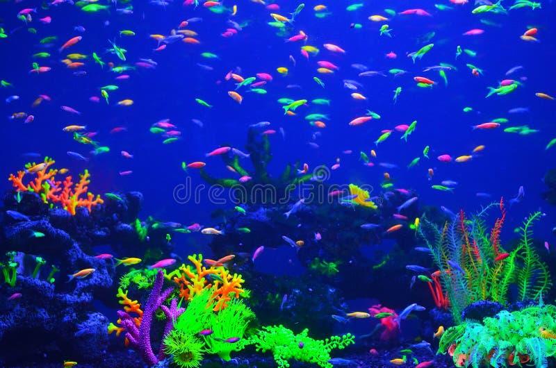 Muchos pequeños pescados corticales brillantes en agua azul pura imagen de archivo