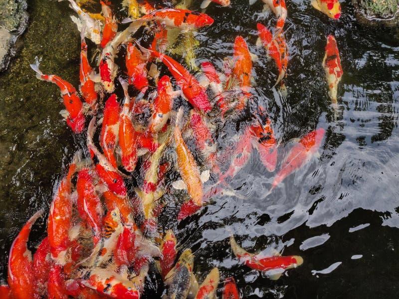 Muchos pescados de la carpa en la charca foto de archivo