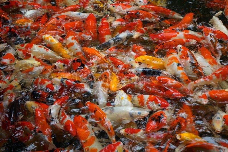Muchos pescados de la carpa que buscan para la comida en la superficie del agua foto de archivo