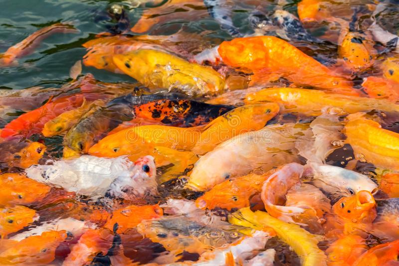 Muchos pescados del koi en comida imagen de archivo libre de regalías