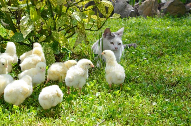 Muchos pollos amarillos foto de archivo libre de regalías