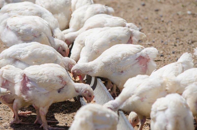 Muchos polluelos que crecen pollos y pavos picotean la pluma de la bandeja de la alimentación imagenes de archivo