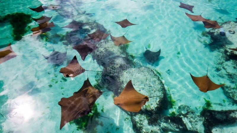 Muchos rayos de picadura jovenes de las Bahamas fotografía de archivo