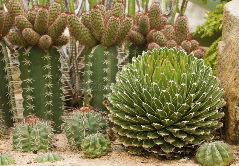 Muchos tipos de cactus foto de archivo imagen de verde for Clases de cactus