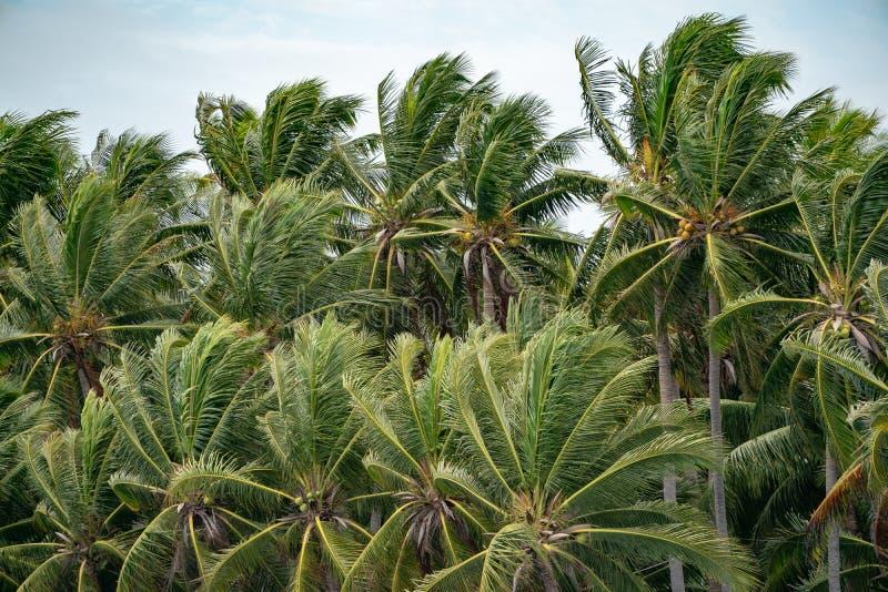 Muchos top de los árboles de coco hojean soplo por el viento imágenes de archivo libres de regalías