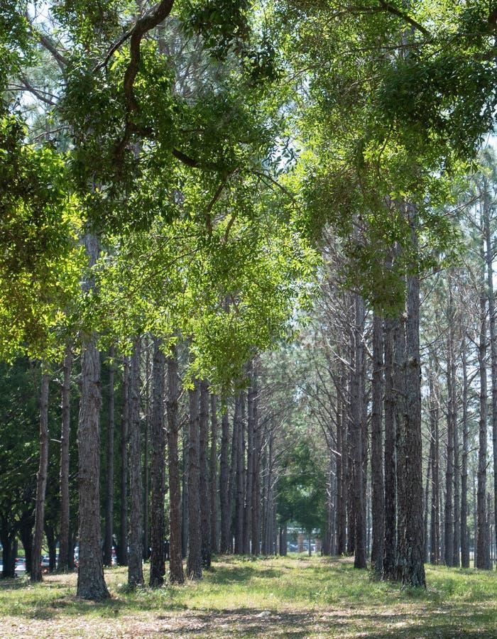 Muchos troncos naturales del ?rbol fotografía de archivo libre de regalías