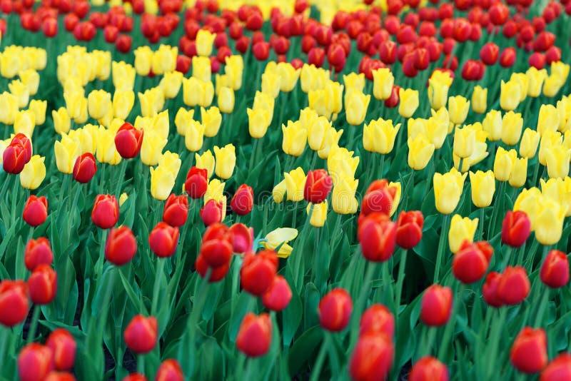 Muchos tulipanes rojos y amarillos foto de archivo