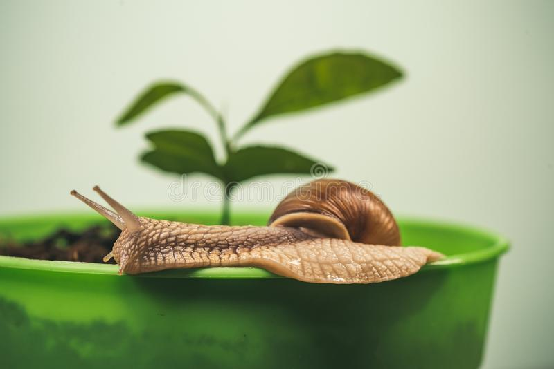 Muco da cura Cosm?ticos e muco do caracol Procedimento da beleza da cosmetologia Caracol bonito perto da planta verde Rem?dios na imagens de stock