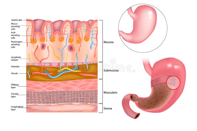 Mucous layer in the stomach. Diagram of the alkaline mucous layer in the stomach. Diagram of the histological cross-section of the stomach Layers of the Stomach royalty free illustration