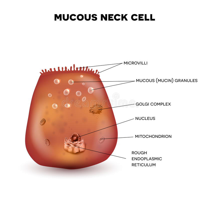 Mucous neck cell vector illustration