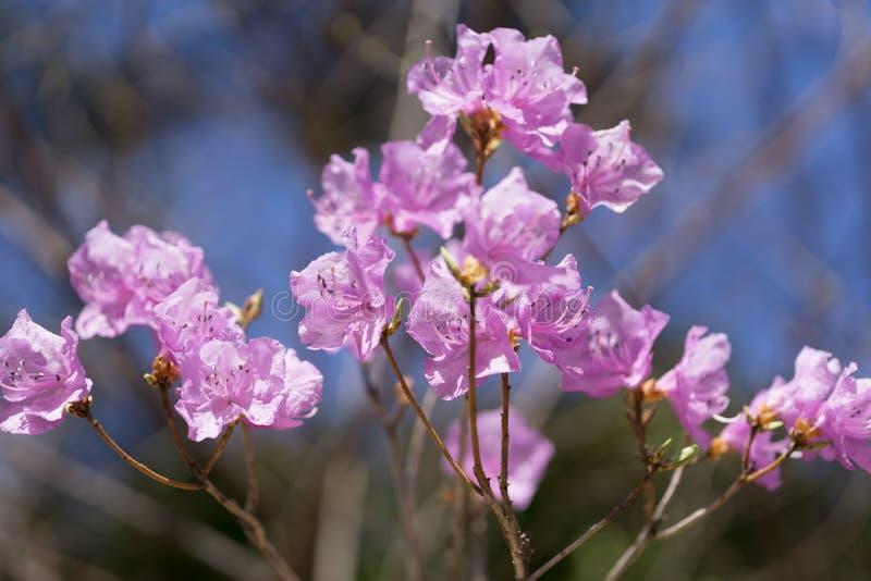 Mucronulatum de rhododendron photos stock