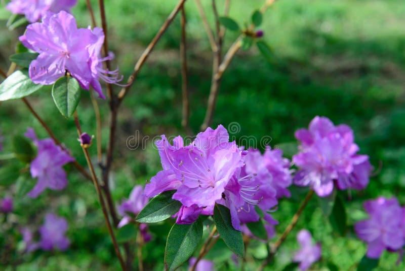 Mucronulatum de rhododendron photographie stock libre de droits