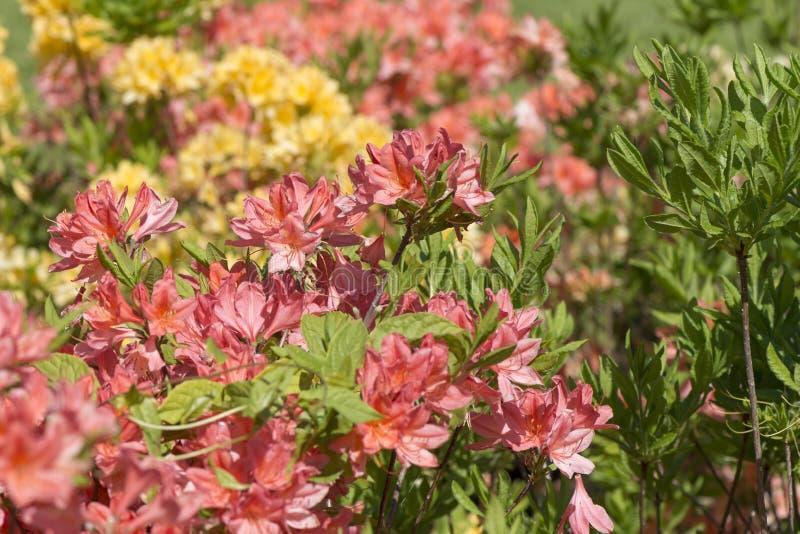 Mucronulatum de rhododendron photo libre de droits