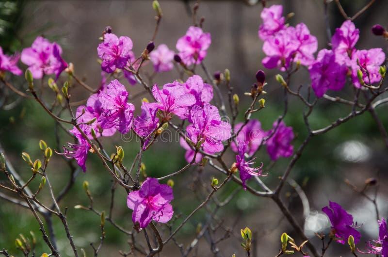Mucronulatum de rhododendron, le rhododendron coréen ou laurier-rose coréen en fleur image stock