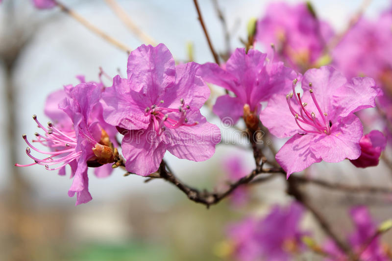 Mucronulatum do rododendro imagens de stock royalty free