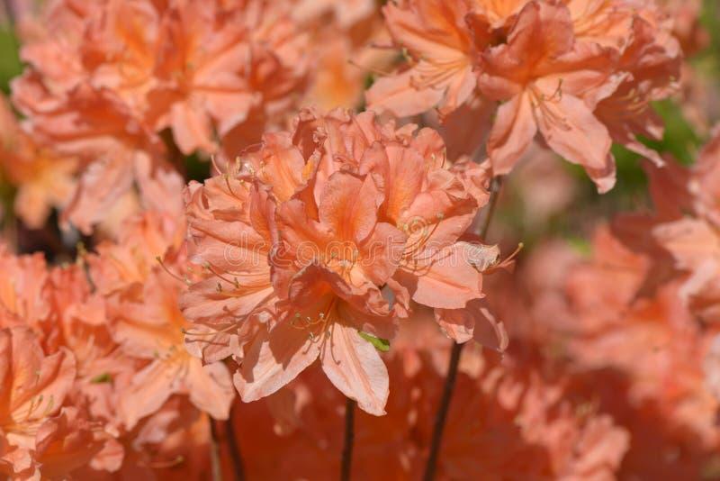 Mucronulatum do rododendro foto de stock royalty free