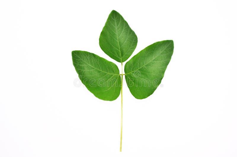 Mucuna pruriens Blätter mit dem weißen Hintergrund und dem Beschneidungspfad stockfoto