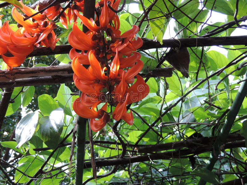 Mucunabennettii of Scharlaken jadewijnstok of Rode jadewijnstok stock fotografie