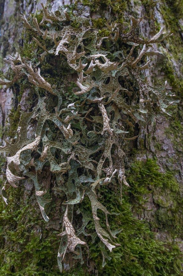 Muczenia i licens na barkentynie (Cetraria islandica) zdjęcie stock