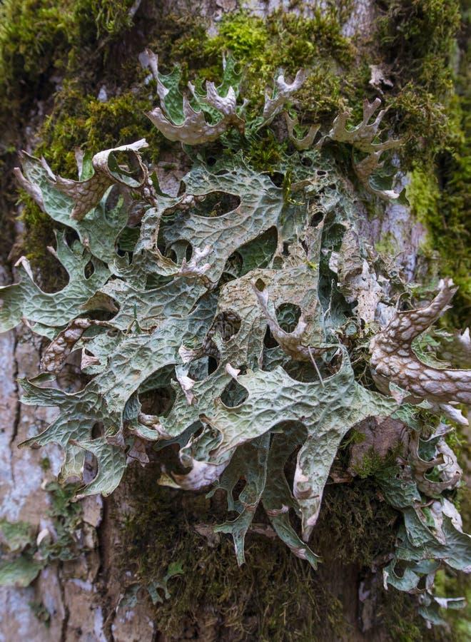 Muczenia i licens na barkentynie (Cetraria islandica) obrazy stock