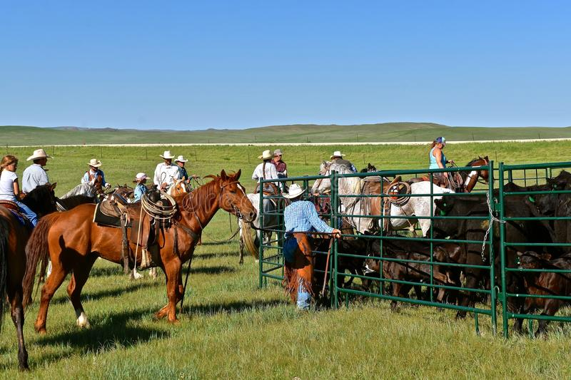 Cowboys and cowgirl in a roundup and branding scene. MUD BUTTE, SOUTH DAKOTA, May 23, 2018: The annual roundup and branding of cattle brings the area cowboys and stock photos