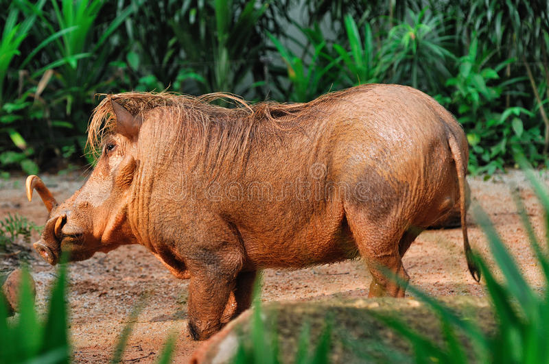 Download Mud-covered Warthog stock image. Image of bright, brown - 28190971